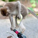 Władze prowadzą kampanię uniezależniania małp od człowieka