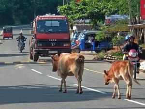 Święte krowy