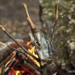 Ukrzyżowana ryba z ogniska